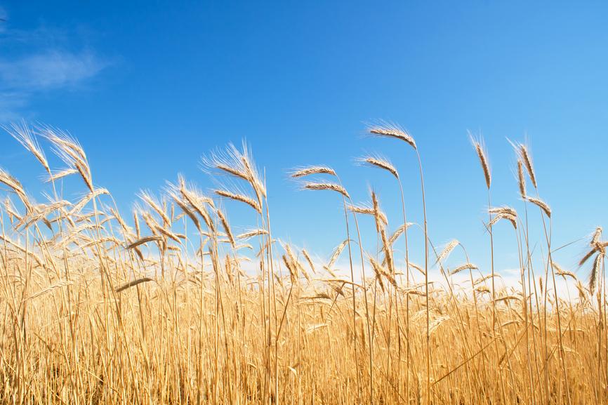 field of rye, blue sky